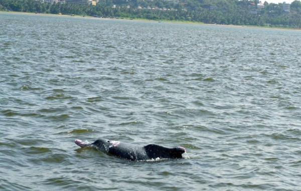 dolphin-spotting-in-goa-island
